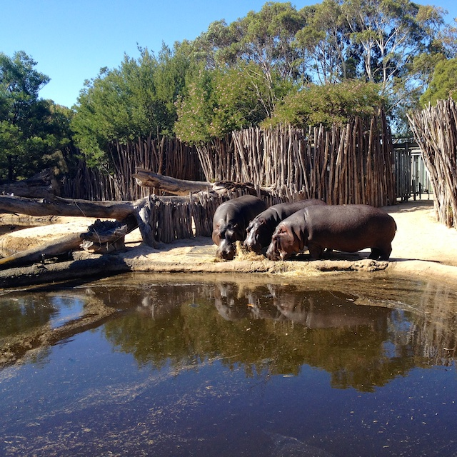 hippos out of the water