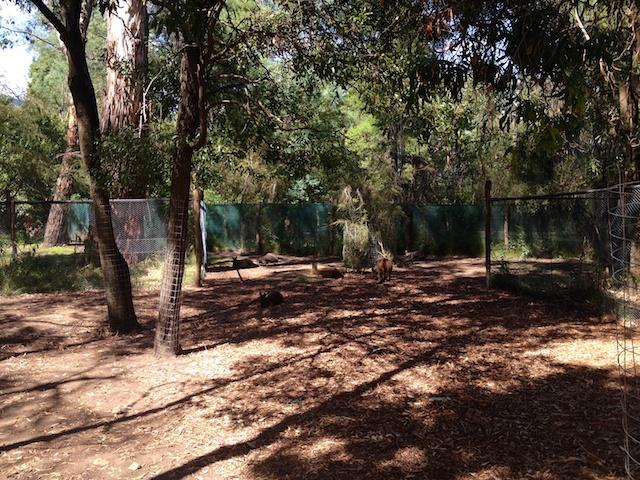 Kangaroos & Wallabys
